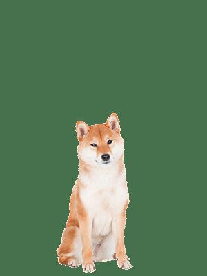 Shiba Inu Aiki