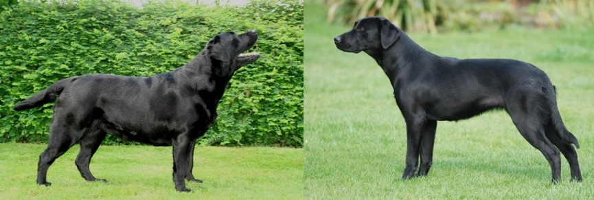 Labrador verschil werklijn vs showlijn
