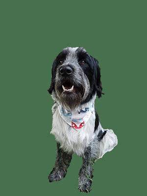 Hoe help je een reactieve hond?