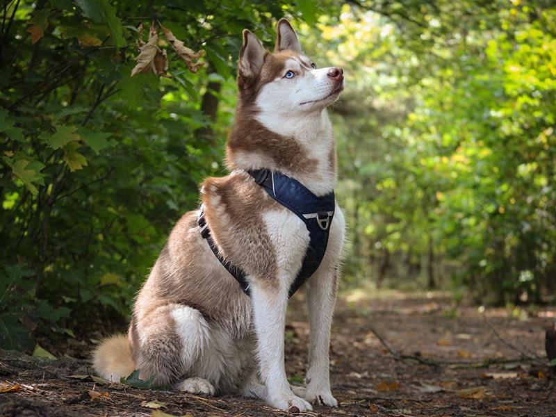 <p>Husky Nuka</p>