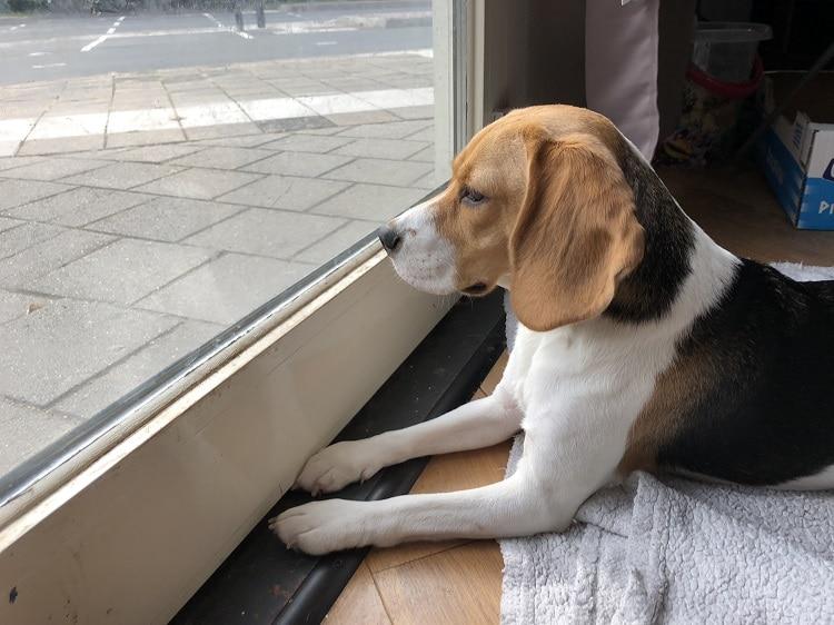 Daisy de Beagle - nieuwsgierig