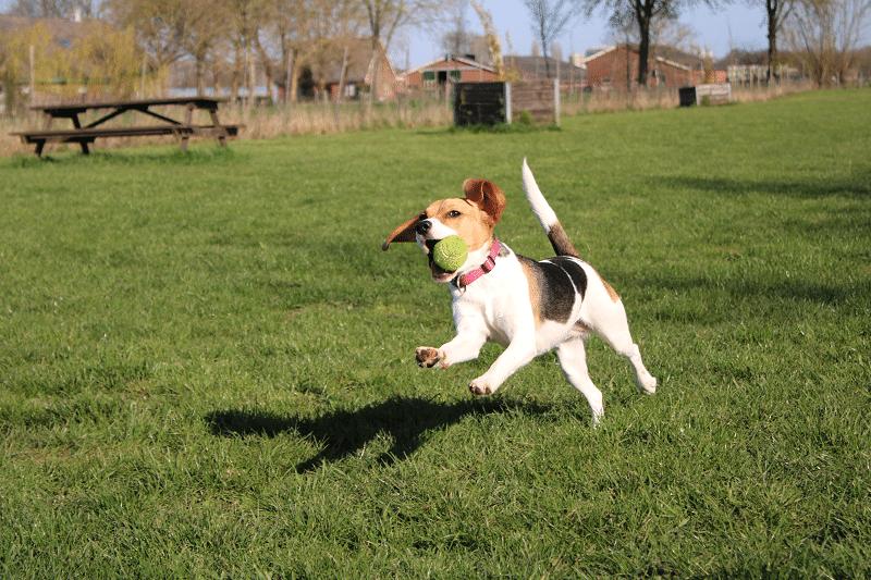 Hondenspeeltuin Daisy met de bal