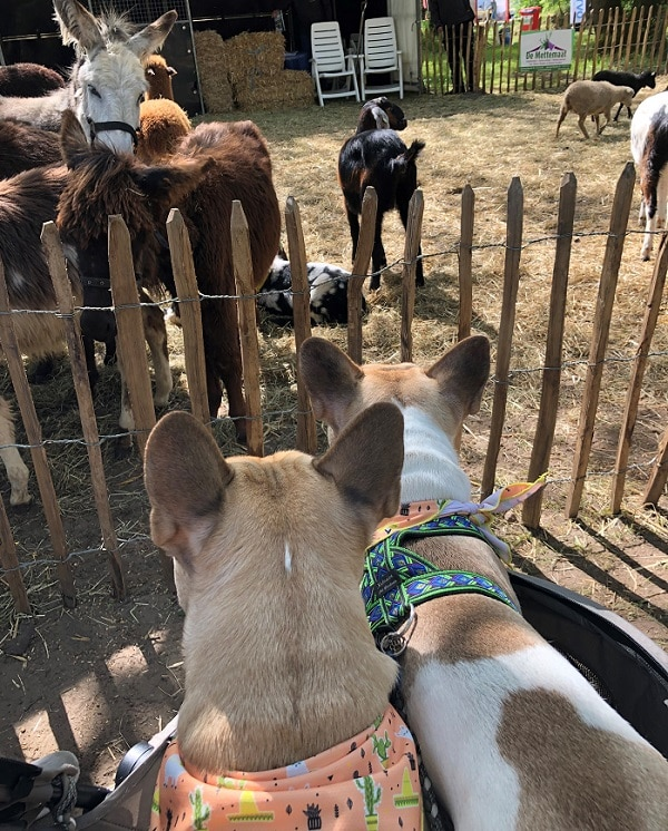 Nacho en Chester Animal Event