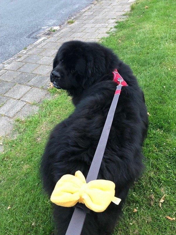 gele strik hond