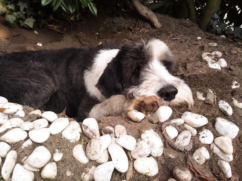 hond graven in de kuil