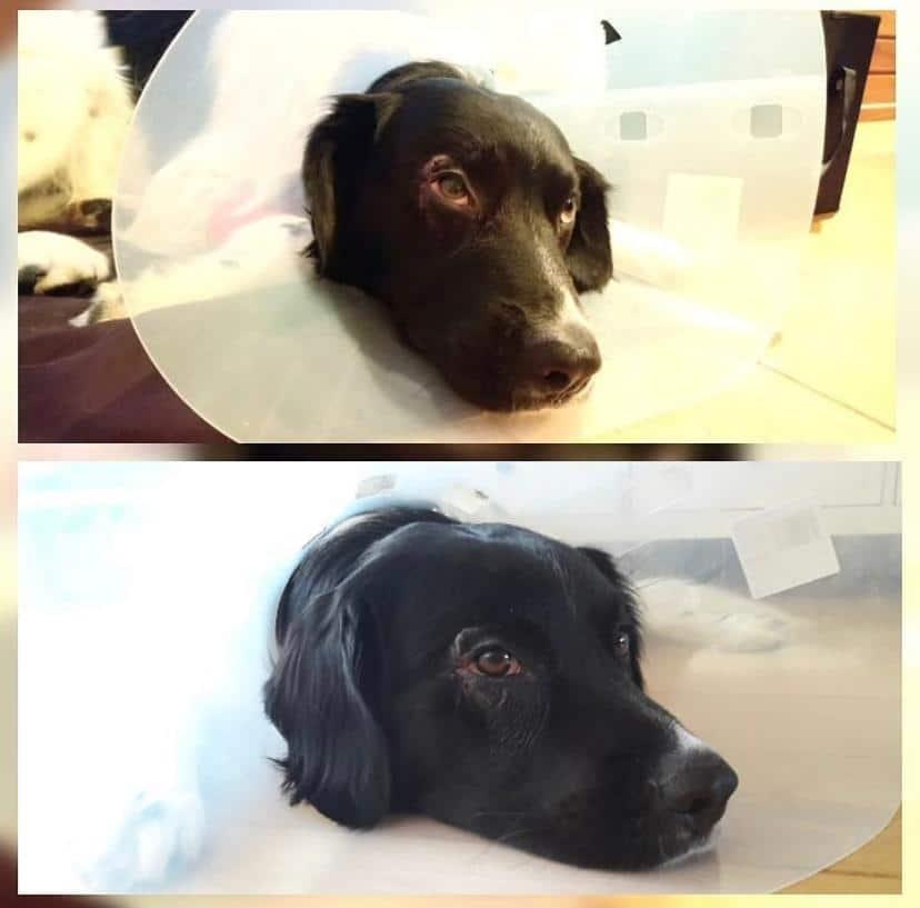 Tibbe na de operatie met lampenkap van de dierenarts
