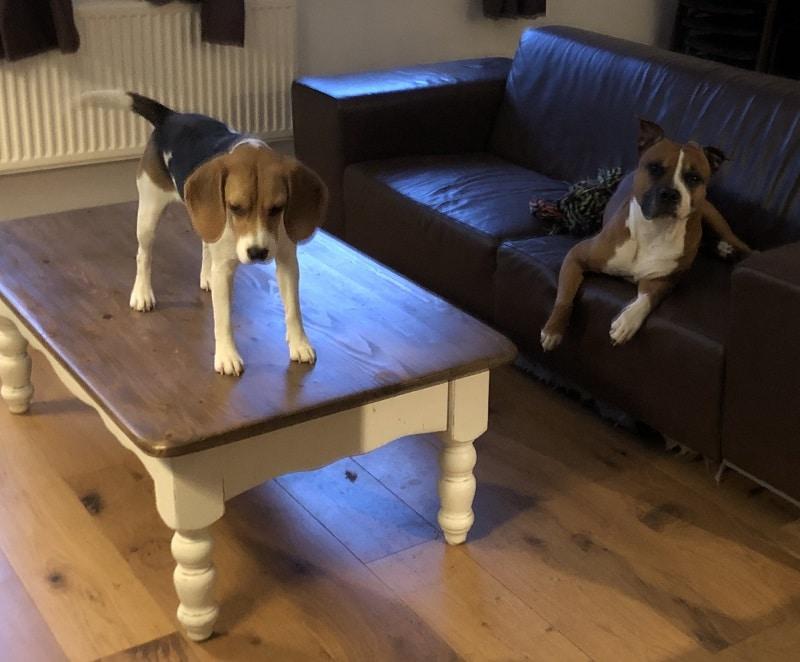 beagle op tafel
