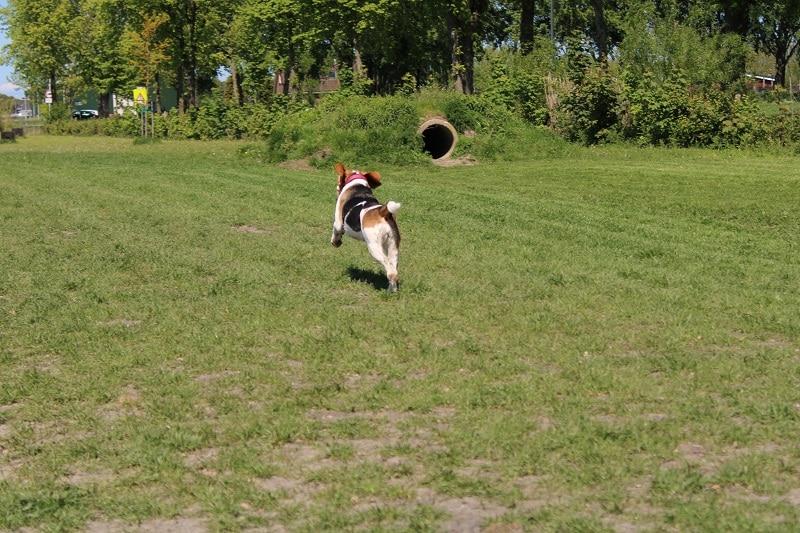 beagle rent weg