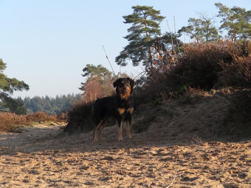 hondenwandeling Soester Duinen