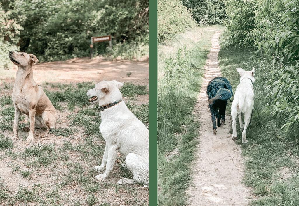 Onzekere hond socialiseren met andere honden