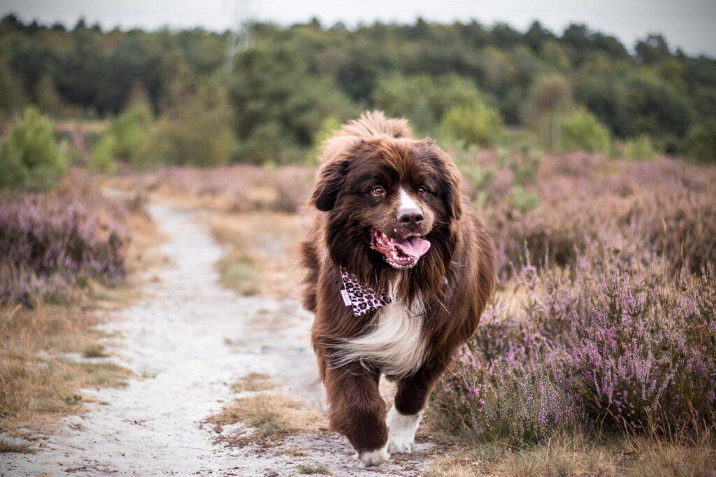 Hondenfoto Bumper Brunsummerheide