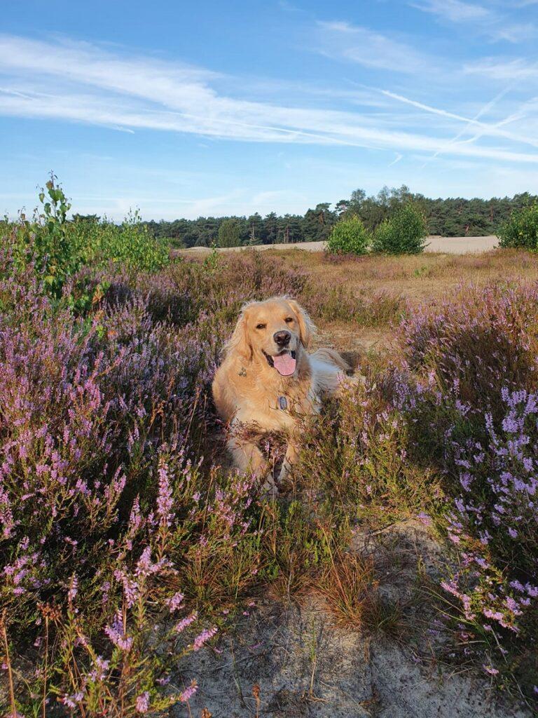 Guus in de Soesterduinen paarse heide