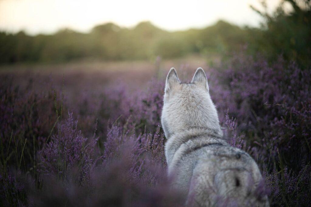 Hondenfotograaf op de heide