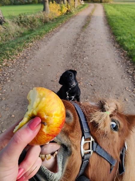 samen appel eten - hond en paard