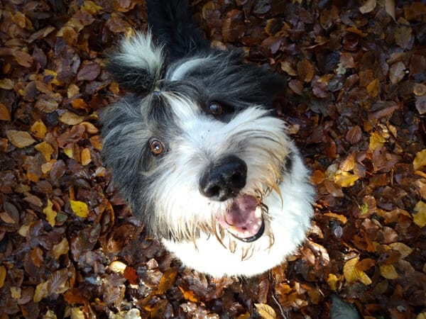 Bearded collie Bommel close-up