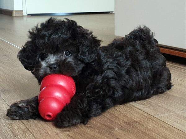 puppy boomer Tommy met gevulde Kong