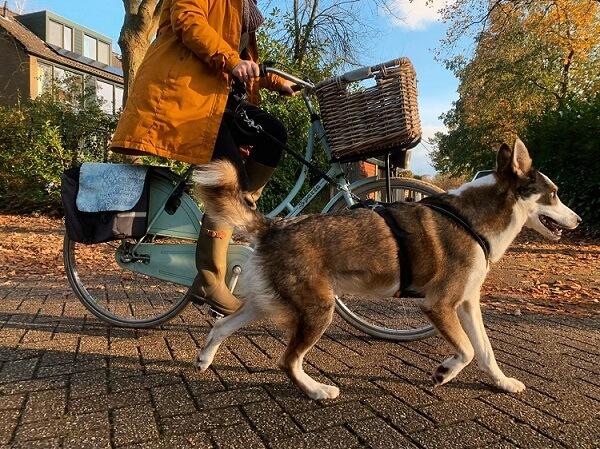 Met de hond naast de fiets lopen