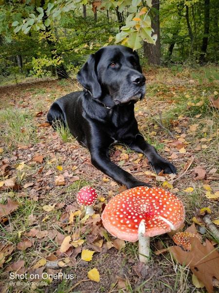 Labrador kruising Odin en de eerste rode paddenstoel