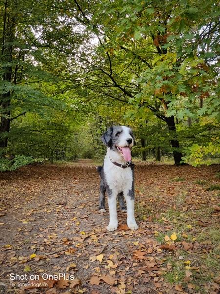 Bearded collie Bommel in het groene bos
