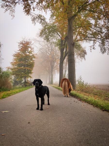 Labrador kruising Odin in de mist