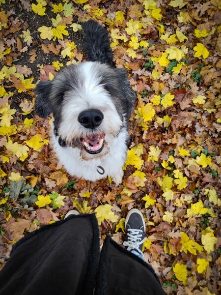 Bearded collie Bommel tussen de herfstbladeren