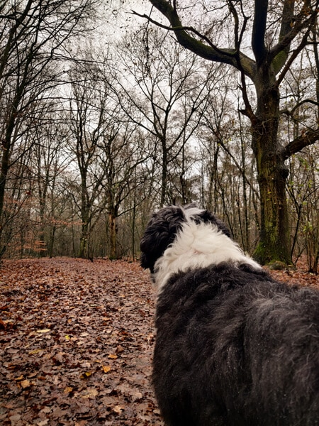 Bearded collie Bommel in de regen kale bomen
