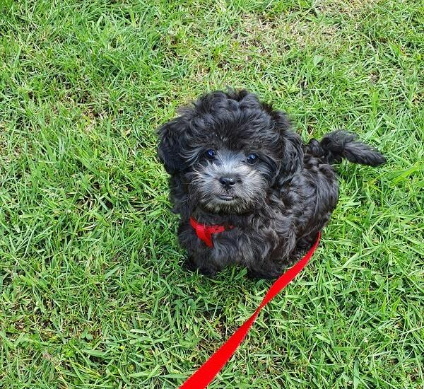 Tommy puppy in het gras plassen