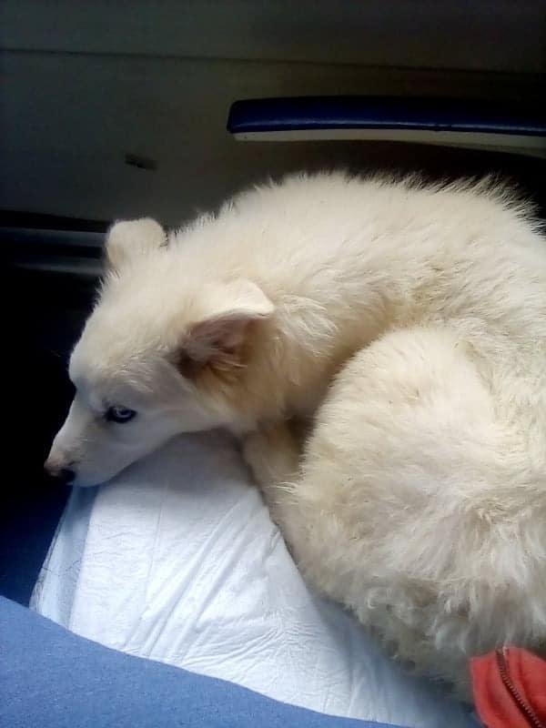 Pup uit Rusland - in de trein