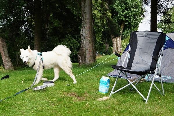 Puberhond bij de tent